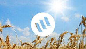 SOLAR FIRE visuel soleil et champ de blé